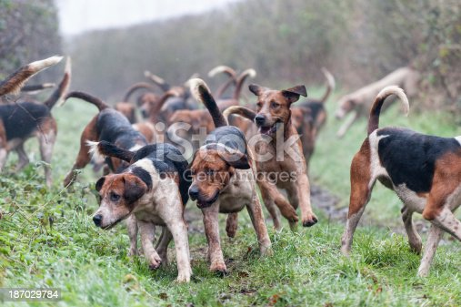 pack of foxhounds on the scent