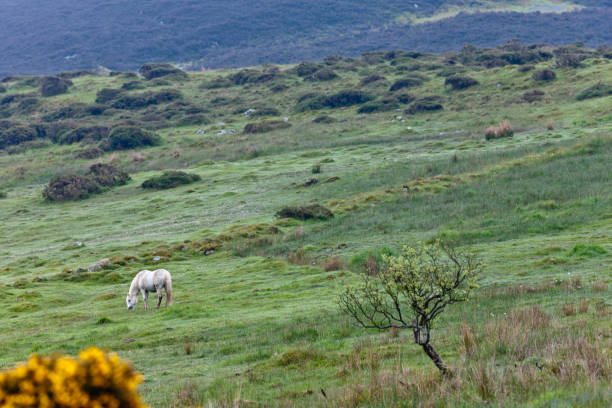 On the slopes of  Slievenaglogh Horse pasture on northeast slope of Slievenaglogh peak (Irish: Sliabh na gCloch) on the road from Mullaghattin Townland to Riverstown.  Foreground is yellow flowered gorse (whin bush, scientific name Ulex).  Early morning, late May 2014. michael stephen wills Slievenaglogh stock pictures, royalty-free photos & images