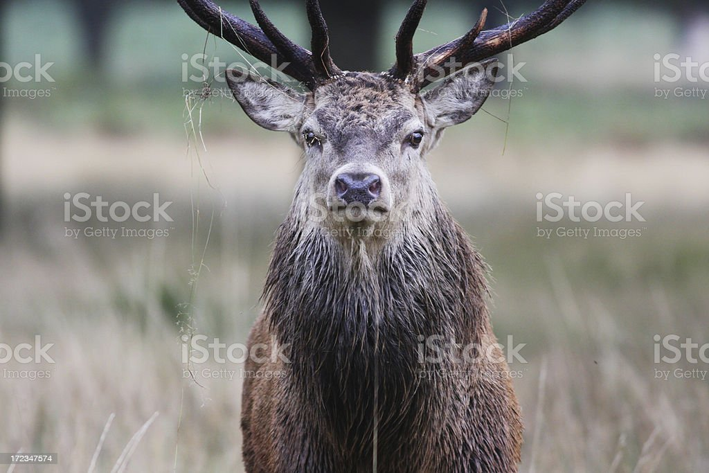 Not too close red deer stag stare stock photo