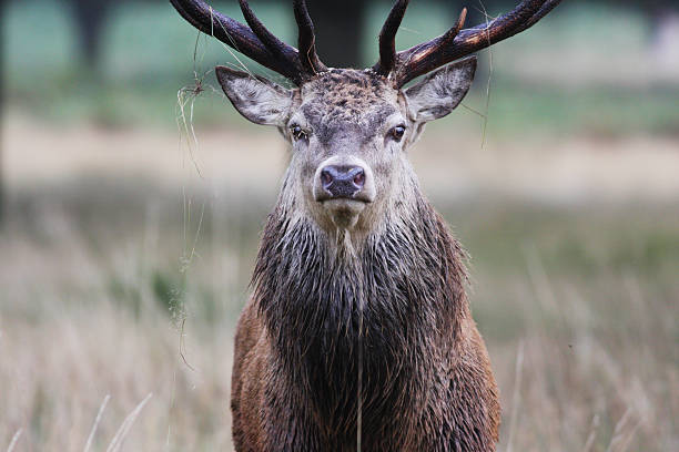 not too close red deer stag stare - whiteway deer stock photos and pictures