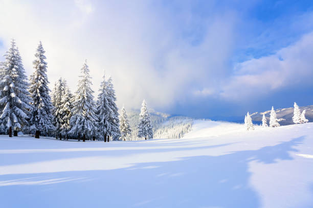 広い芝生の上は、凍るような冬の日に雪の中に立っている多くのモミの木があります。光と影のゲームは美しくボリュームで再生されます。美しい冬の背景。 - 雪景色 ストックフォトと画像