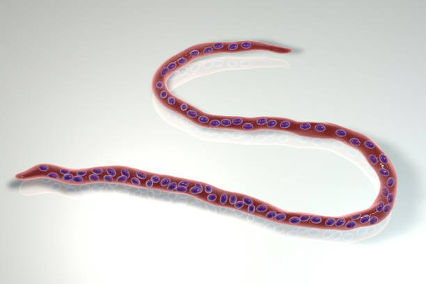 Onchocerca volvulus, a roundworm nematoda that causes onchocerciasis, river blindness in humans Onchocerca volvulus, a roundworm nematoda that causes onchocerciasis, river blindness in humans, 3D illustration showing slender worm without a sheath around it and tail nuclei not extending to tip roundworm stock pictures, royalty-free photos & images