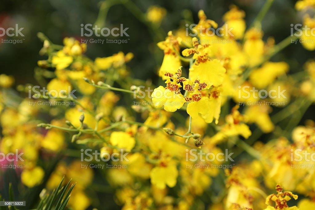 Oncidium Altissimum stock photo