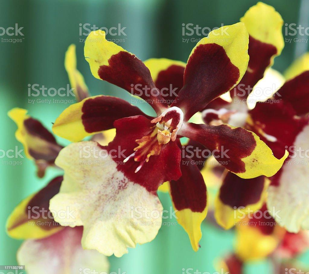 Oncidium Colmanara wildcat orchid stock photo