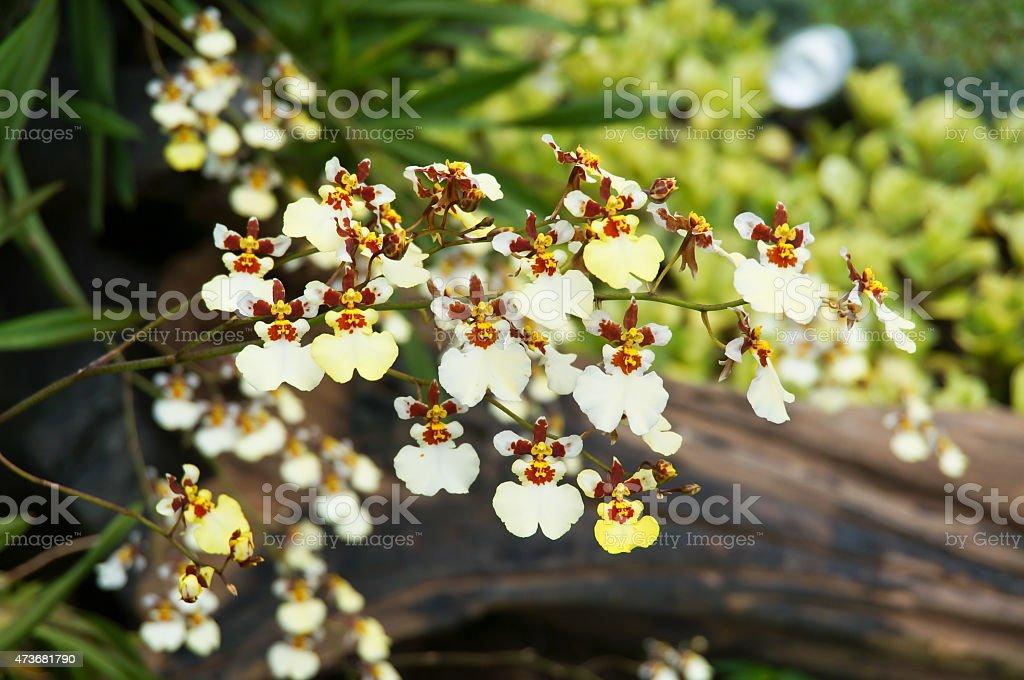 Oncidium orchid stock photo