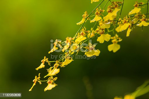 Oncidium orchids have flowers and stems, small, bright yellow, both short and long. Big and small petals