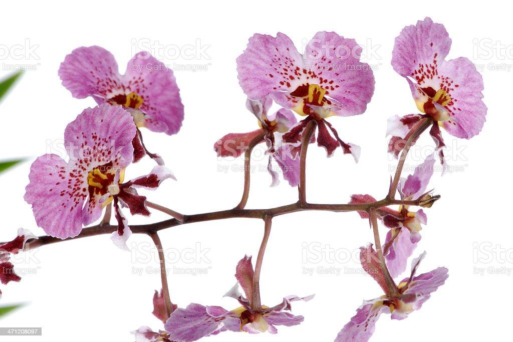 Oncidium (Dancing Lady) stock photo