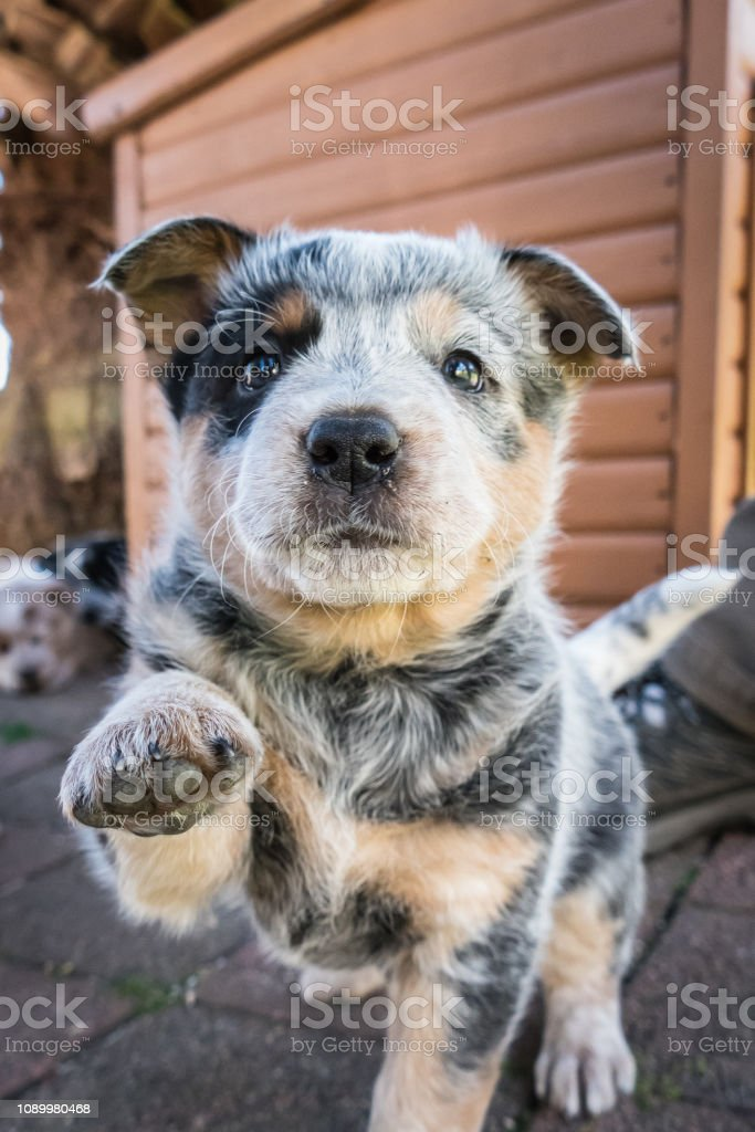 One 6-weeks old Blue Heeler puppy, Australian Cattle Dog, looks at camera, one paw raised, tail up stock photo