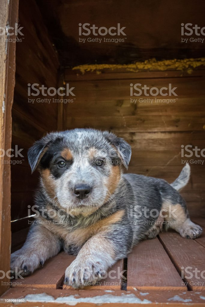 One 6-weeks old Blue Heeler puppy, Australian Cattle Dog, rests in wooden dog house stock photo