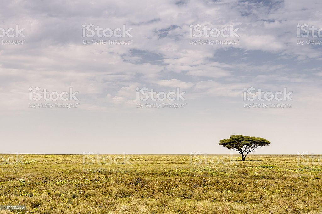 One Acacia Tree in the African Plains royalty-free stock photo