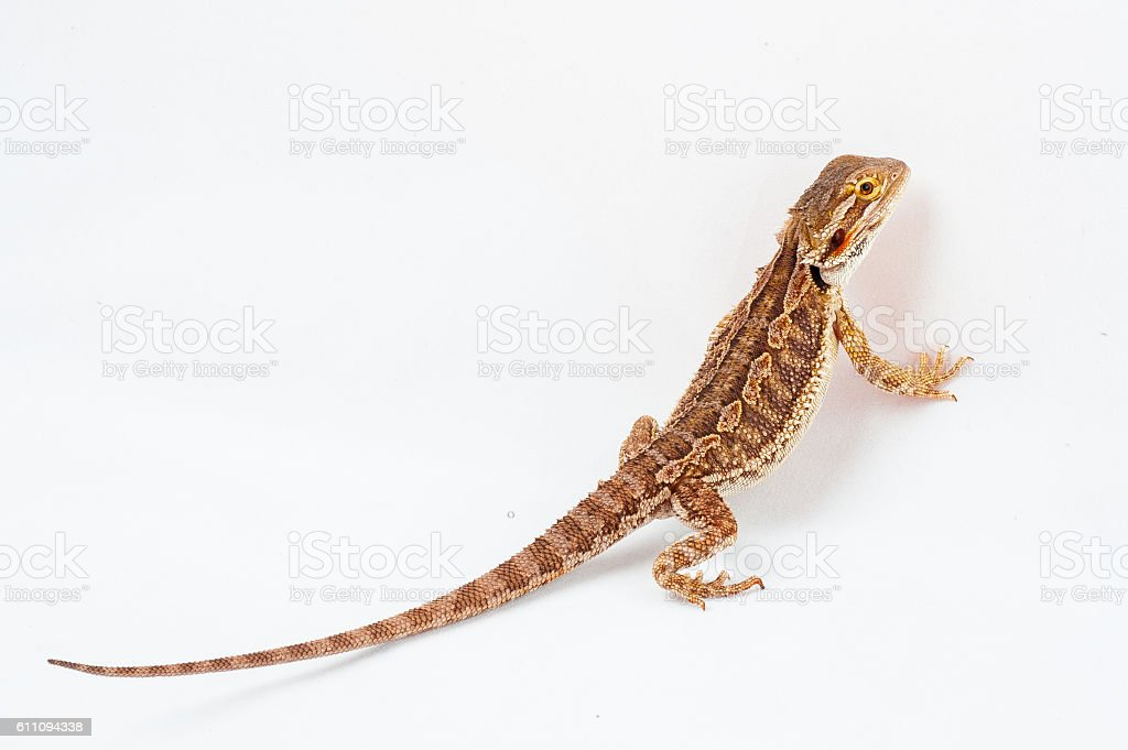 one agama bearded on the white background – Foto