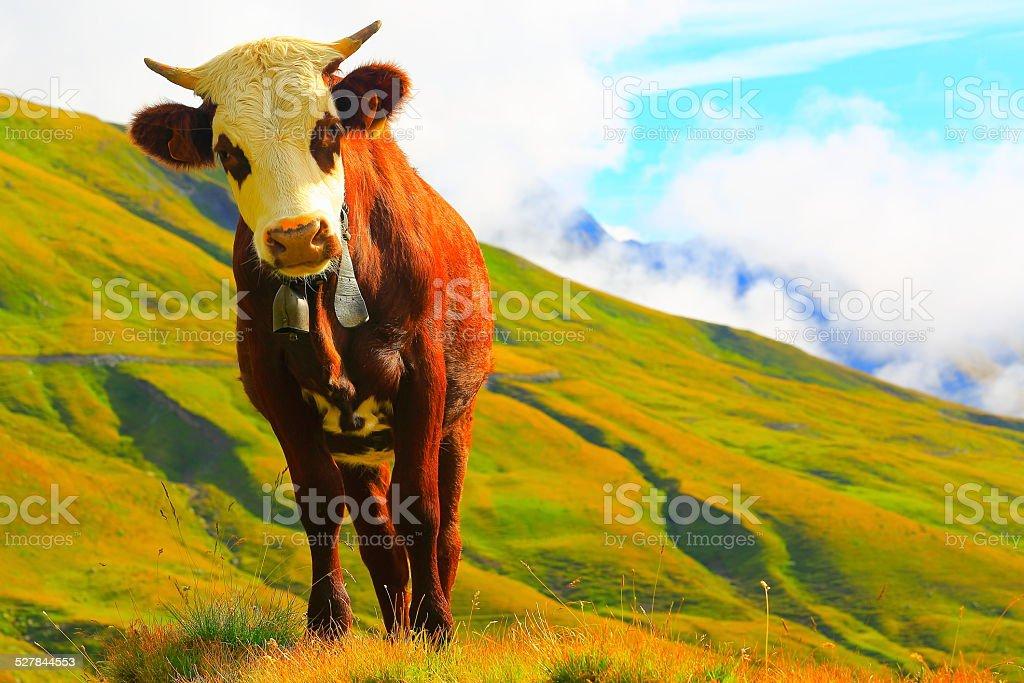 Eine Alpine Kuh Blick in die Kamera im schweizerischen und französischen Alpen Grenze – Foto