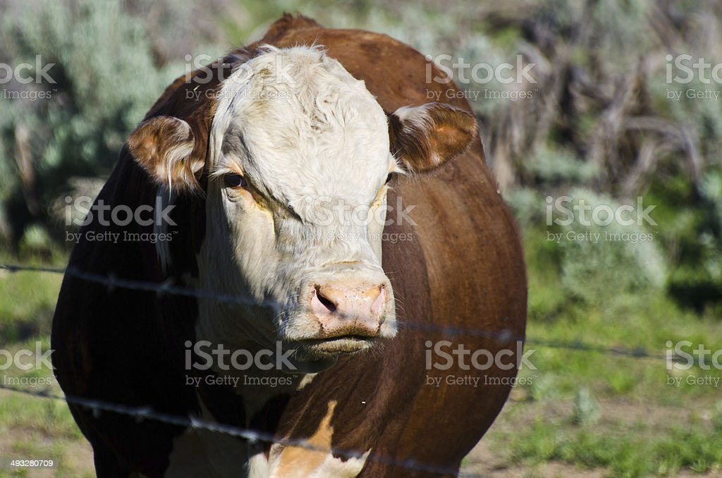 One Angry Bull stock photo