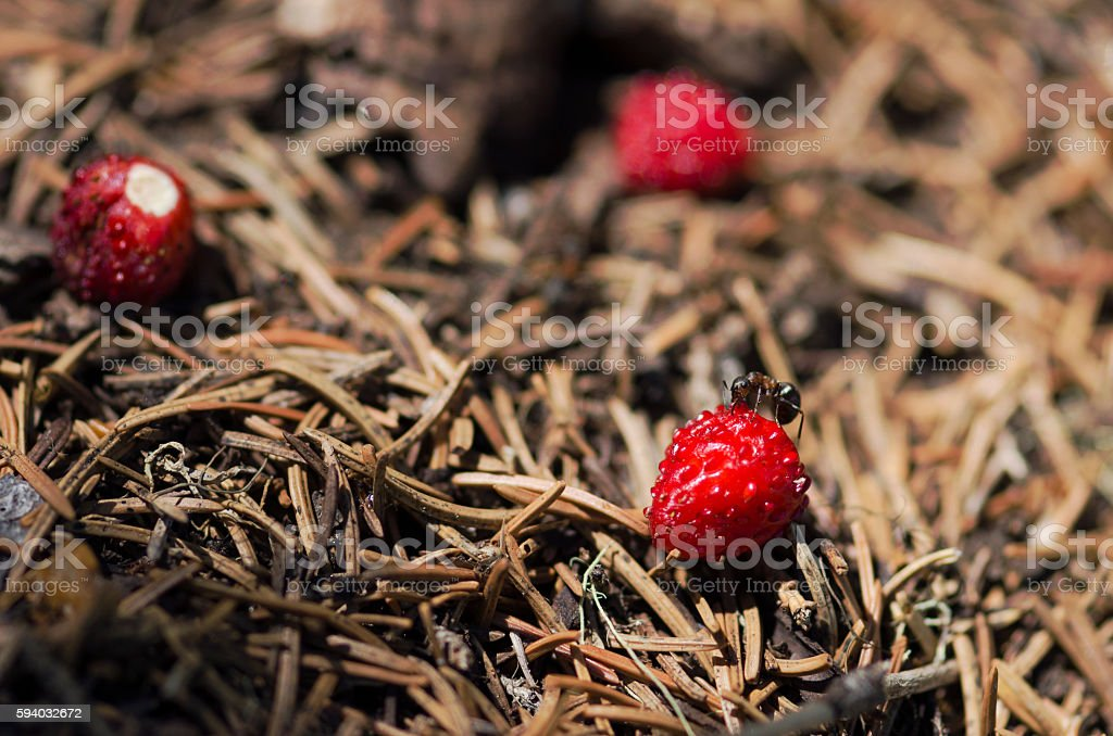 One ant testing wild strawberry in an anthill stock photo