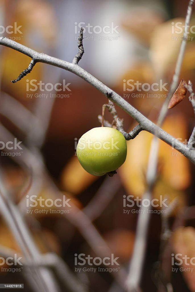 One Apple on a Branch royalty-free stock photo