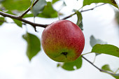 One apple on a brunch of an apple tree