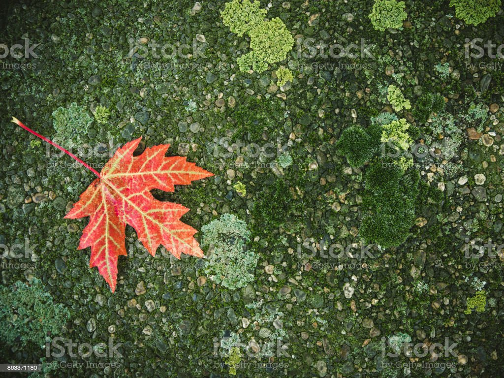 One autumn red maple leaf on the surface with moss stock photo