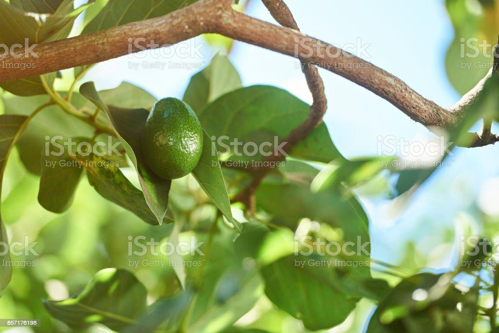 One avocado vegetable stock photo