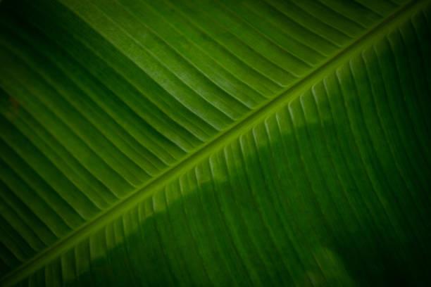One banana leaf frontally macro stock photo