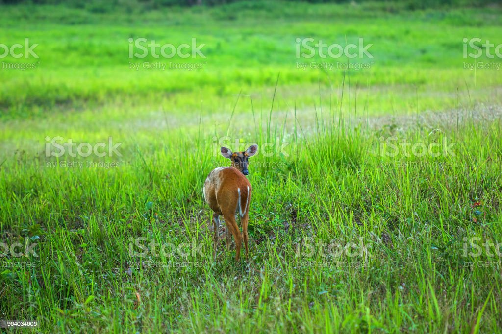 One Barking deer feeding in a meadow. - Royalty-free Agricultural Field Stock Photo