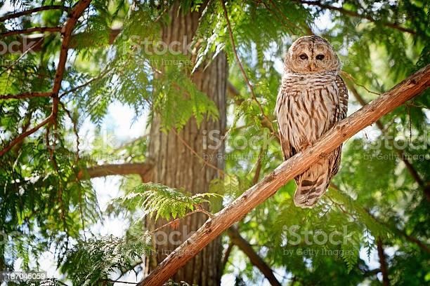 Photo of One Barred owl sitting on a cedar branch