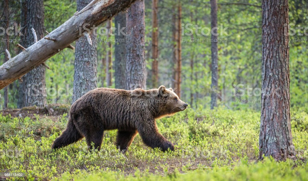 One bear in the background of a beautiful forest. stock photo
