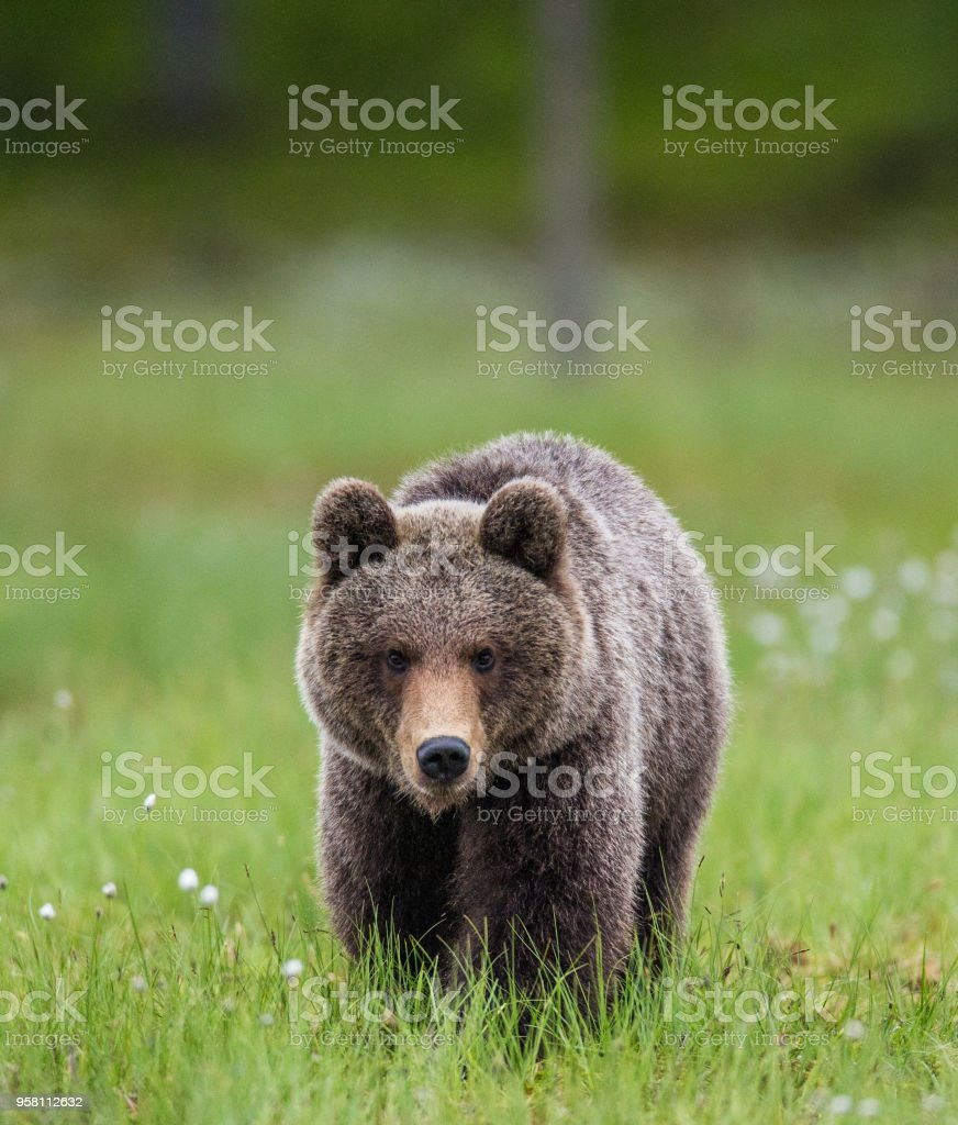 One bear on the forest background among white flowers. stock photo