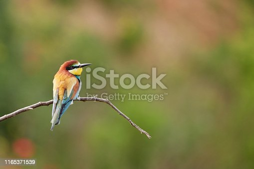 Bee-eater sitting on a branch in Gerolsheim, Germany - July 2019