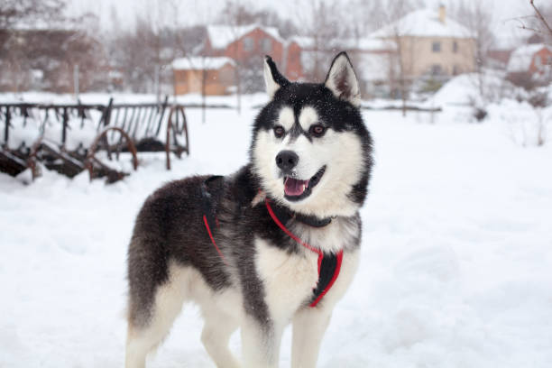 One beautiful Siberian Husky with pink tongue on white snow background closeup, black furry Alaskan Malamute with red harness on winter season nature landscape, cute northern sled dog outdoor portrait One beautiful Siberian Husky with pink tongue on white snow background closeup, black furry Alaskan Malamute with red harness on winter season nature landscape, cute northern sled dog outdoor portrait malamute stock pictures, royalty-free photos & images