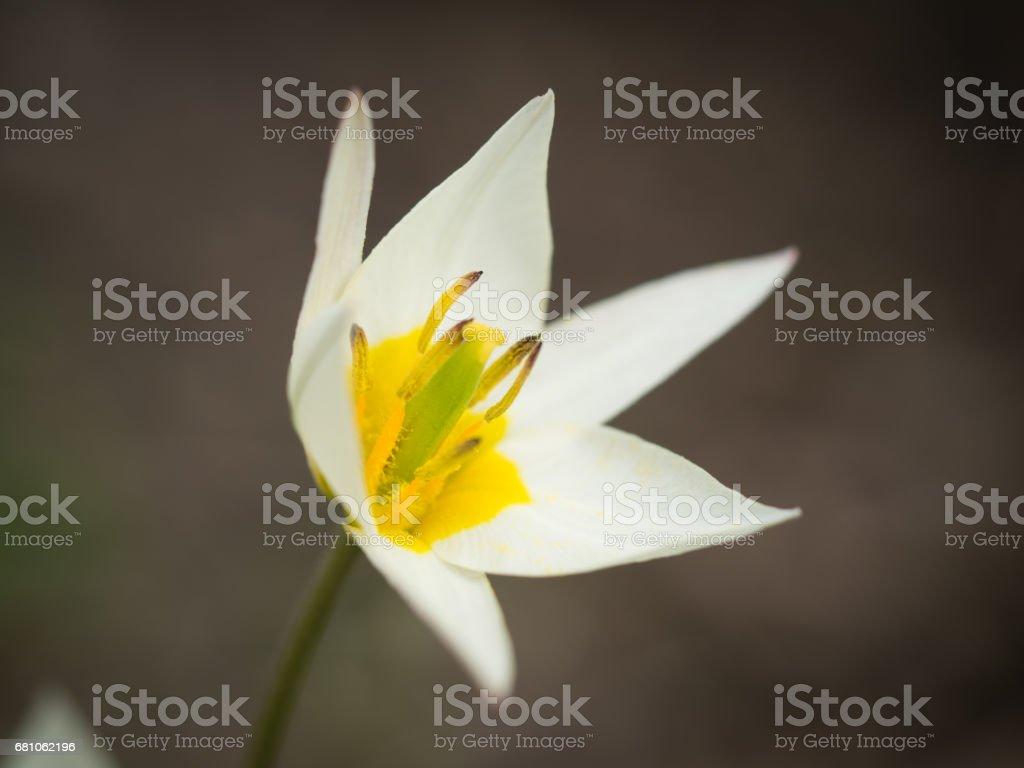 One beautiful white yellow flower in spring. Macro royalty-free stock photo