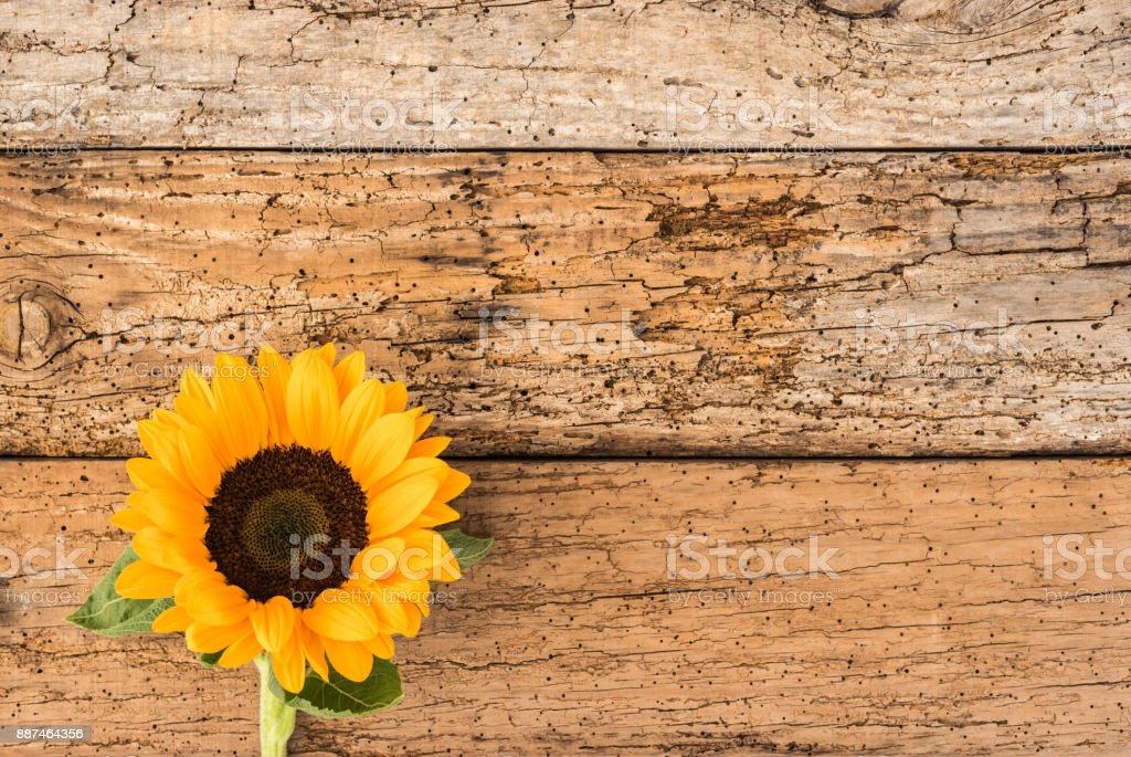One Beautiful Yellow Sunflower On Rustic Wooden Background Royalty Free Stock Photo