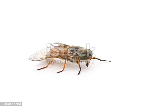 One big gadfly isolated on a white background.