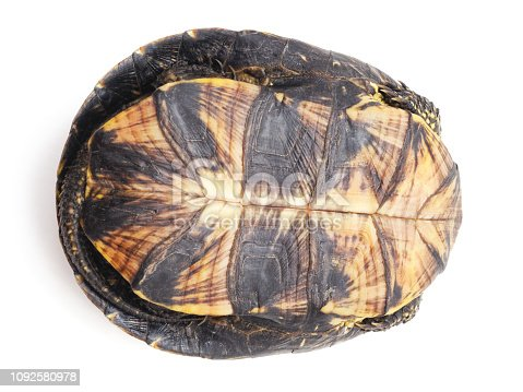 One big turtle isolated on a white background.