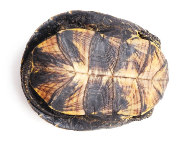One big turtle. One big turtle isolated on a white background. invertebrate stock pictures, royalty-free photos & images