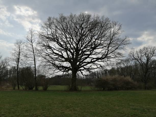 one   biggest  old  TREE  = NATURE RESERVE MONUMENT stock photo