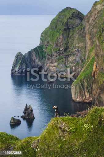 One bird Atlantic puffin in natural habitat in Vestmannaeyjar island. Fratercula arctica. Bird sitting on cliff in green grass with amazing mountain and coast view on background.