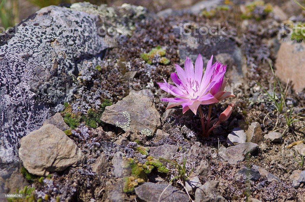 One Bitterroot Blossom stock photo