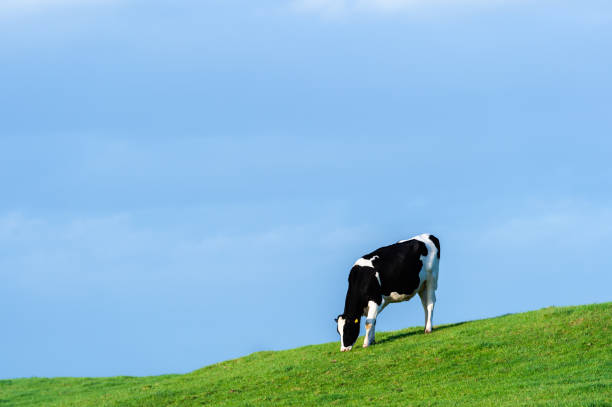 One black and white holstein dairy cow grazing on a hill in a Scottish field in early evening stock photo