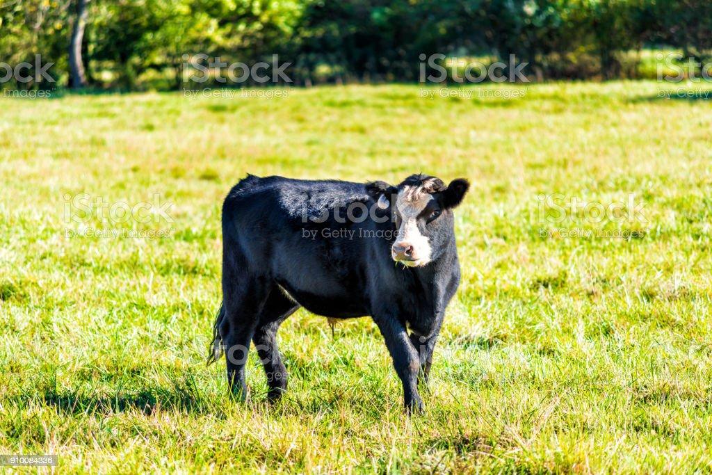 Fotografía de Una Vaca Joven Blanco Y Negro Closeup Terneros ...