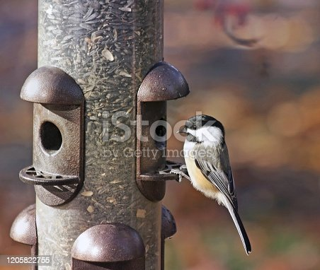 One Black Capped Chickadee perched on an outdoor feeder