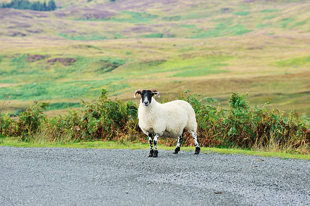 One black faced sheep in a remote area of Scotland A black faced sheep stands on a rural road in front of rough grassland in rural Scotland. file_thumbview_approve.php?size=1&id=16384880 file_thumbview_approve.php?size=1&id=16384863 file_thumbview_approve.php?size=1&id=16102978  file_thumbview_approve.php?size=1&id=17610745 file_thumbview_approve.php?size=1&id=17589611 file_thumbview_approve.php?size=1&id=16384897 file_thumbview_approve.php?size=1&id=16384863 file_thumbview_approve.php?size=1&id=16103142 file_thumbview_approve.php?size=1&id=16093112 file_thumbview_approve.php?size=1&id=16093104 johnfscott stock pictures, royalty-free photos & images