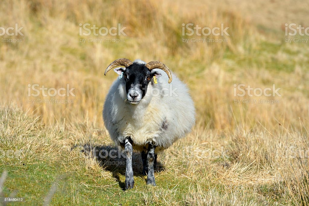 One black faced sheep in a remote area of Scotland stock photo