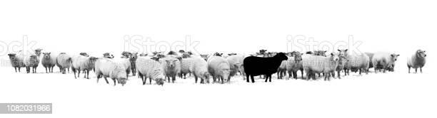 One black sheep standing in the middle of a flock of white sheep picture id1082031966?b=1&k=6&m=1082031966&s=612x612&h=z5lgigr8mtxzpod2q83yeep7vzpq8frhyltzrqeao80=