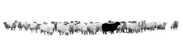 One black sheep standing in the middle of a flock of white sheep One black sheep standing in the middle of a flock of white sheep flock of sheep stock pictures, royalty-free photos & images
