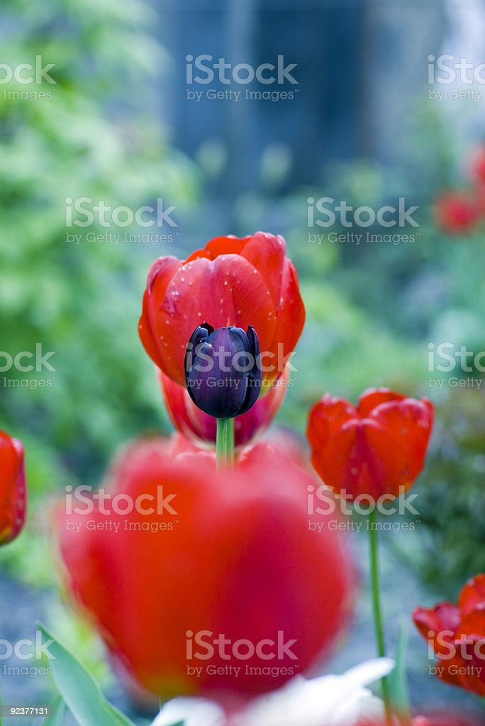 one black tulip royalty-free stock photo