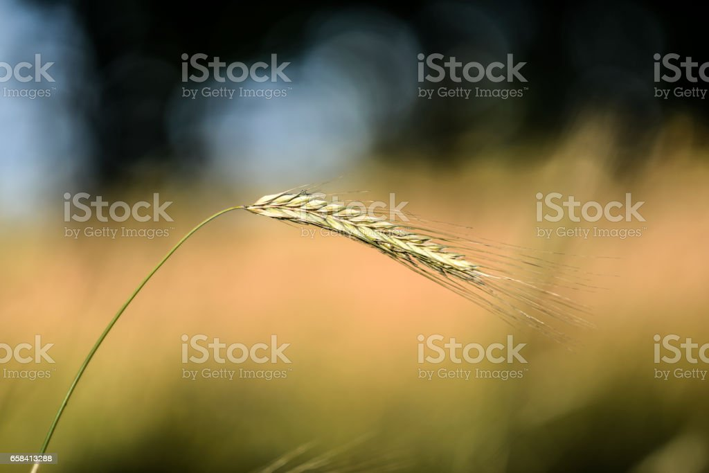 One blade of cereal stock photo
