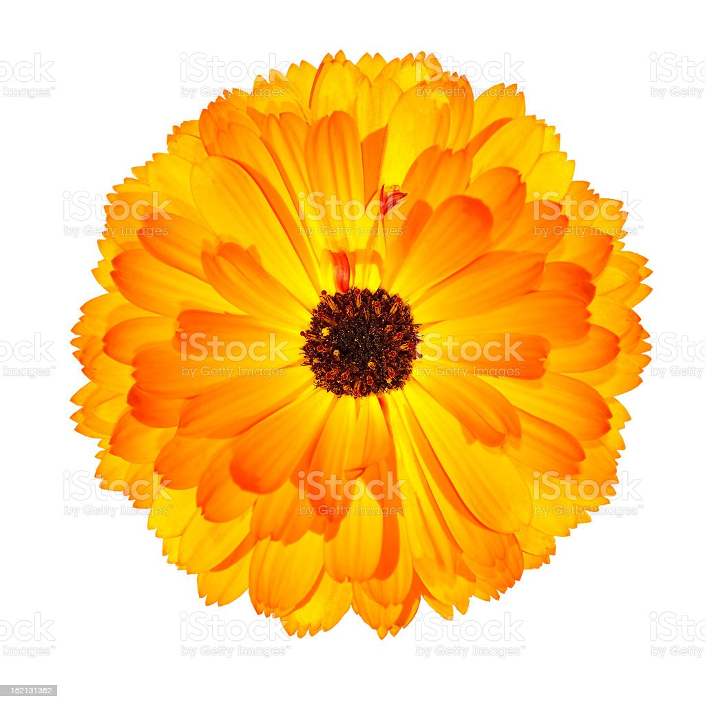 One Blossoming Orange Pot Marigold Flower Isolated on White royalty-free stock photo