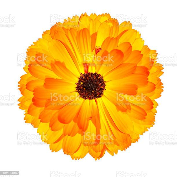 One blossoming orange pot marigold flower isolated on white picture id152131362?b=1&k=6&m=152131362&s=612x612&h=youvcyz07jus2sqiqzpqajgxg3ekedeuhi0pqodb j0=