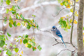 One blue jay bird Cyanocitta cristata perched on tree branch in Virginia with background of snowflakes falling in autumn fall winter