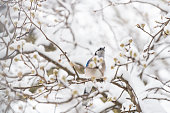 One blue jay bird singing perched on tree branch during heavy winter in Virginia by flower buds